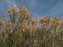 Flor selvagem amarela Imagens de Stock Royalty Free