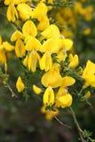 Flor selvagem amarela do tojo Fotografia de Stock Royalty Free