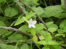 Flor selvagem branca Fotografia de Stock Royalty Free