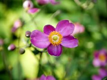 Flor selvagem brilhante roxa contra um jardim verde de florescência Imagens de Stock Royalty Free