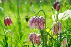 Flor selvagem britânica do prado do fritillary principal da serpente fotografia de stock royalty free