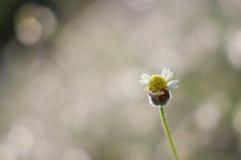 Flor selvagem com bokeh brilhante Fotografia de Stock Royalty Free