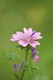 A flor selvagem com testes padrões cor-de-rosa nela é pétalas Foto de Stock Royalty Free