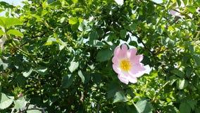 Flor selvagem cor-de-rosa e verde agradável Imagem de Stock Royalty Free