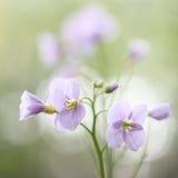 Flor selvagem da mola cor-de-rosa Fotografia de Stock