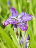 Flor selvagem da orquídea cor-de-rosa do close-up em um campo verde Fotografia de Stock