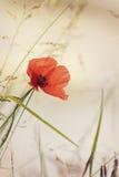Flor selvagem da papoila Imagens de Stock