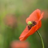 Flor selvagem da papoila no fim borrado do fundo acima Imagens de Stock