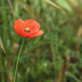 Flor selvagem da papoila no fundo borrado Imagem de Stock