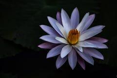 Flor selvagem de Lotus fotos de stock