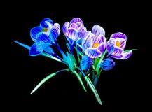 Flor selvagem do açafrão colorido Imagem de Stock