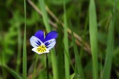 Flor selvagem do amor perfeito fotos de stock royalty free
