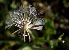 Flor selvagem do goldenfleece espinhoso Fotos de Stock Royalty Free