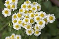 Flor selvagem do parthenium do Tanacetum na flor imagem de stock royalty free