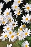 Flor selvagem e abelhas brancas Fotografia de Stock