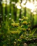 Flor selvagem na floresta verde na luz do por do sol Fotos de Stock Royalty Free