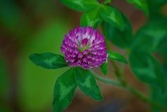 Flor selvagem roxa Fotografia de Stock
