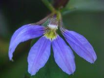 Flor selvagem roxa de Kentucky fotografia de stock