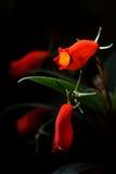 Flor selvagem vermelha da orquídea em Tailândia do norte no fundo preto Fotos de Stock