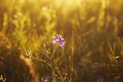 Flor selvagem violeta Imagem de Stock Royalty Free