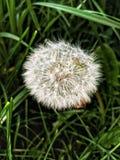 Flor sembrado del dandilion foto de archivo
