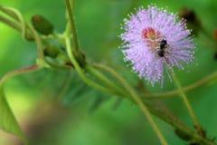 Flor sensible, soñolienta de la planta con la pequeña abeja Imagen de archivo