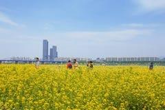 Flor Seoul da violação, Coreia do Sul fotografia de stock