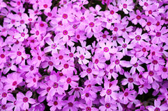 Flor Shiba Sakura Imagenes de archivo
