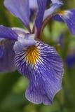 Flor Siberian da íris Fotos de Stock