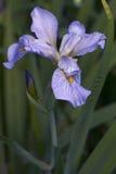 Flor Siberian da íris Foto de Stock