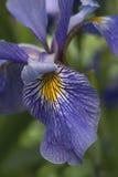 Flor Siberian da íris Imagem de Stock Royalty Free