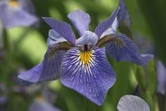 Flor Siberian da íris Fotografia de Stock