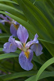 Flor Siberian da íris Imagens de Stock Royalty Free