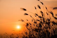 Flor Sillhouette da grama Imagem de Stock