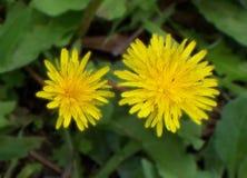 Flor Silvestre Immagini Stock Libere da Diritti