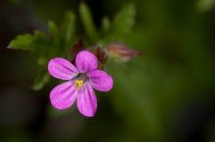 Flor Silvestre Imagens de Stock