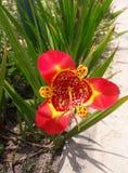 Flor silvestre. La flor silvestre mas bella de toluca stock photos