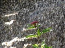 Flor sin tocar de la montaña de la lluvia Fotografía de archivo