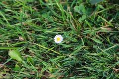 Flor sola de la margarita Foto de archivo libre de regalías