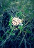 Flor solitária Fotografia de Stock Royalty Free