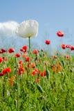 Flor solitário da papoila branca na frente das papoilas vermelhas foto de stock