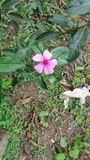Flor solitário no jardim Imagem de Stock Royalty Free