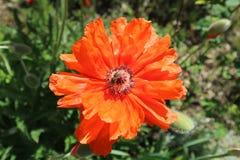 Flor solitaria de la amapola del escarlata con la abeja en un día soleado Imágenes de archivo libres de regalías