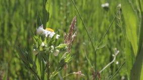 Flor solitaria natural fresca de la manzanilla en un día soleado del verano almacen de metraje de vídeo