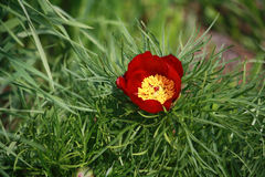 Flor soplada de la peonía fino-con hojas Fotos de archivo libres de regalías
