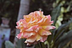Flor sozinha Fotos de Stock