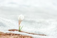 Flor sozinha do açafrão na neve Imagem de Stock