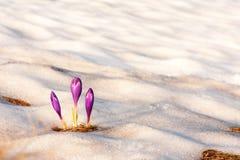 Flor sozinha do açafrão na neve Foto de Stock