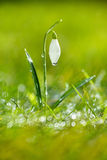 A flor Sparkly do snowdrop, foco minúsculo muito macio, aperfeiçoa para o presente Fotografia de Stock Royalty Free