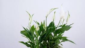 Flor Spathiphyllum, rotación en el fondo blanco Departamento de flor almacen de metraje de vídeo